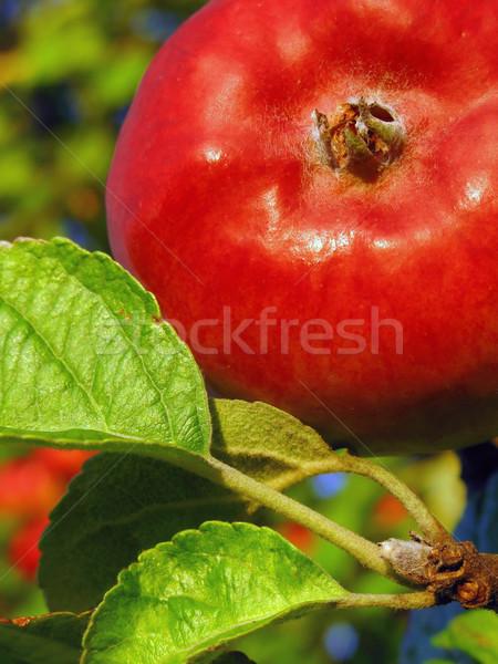 Kırmızı elma ağaç gıda ahşap yaprak yaz Stok fotoğraf © martin33