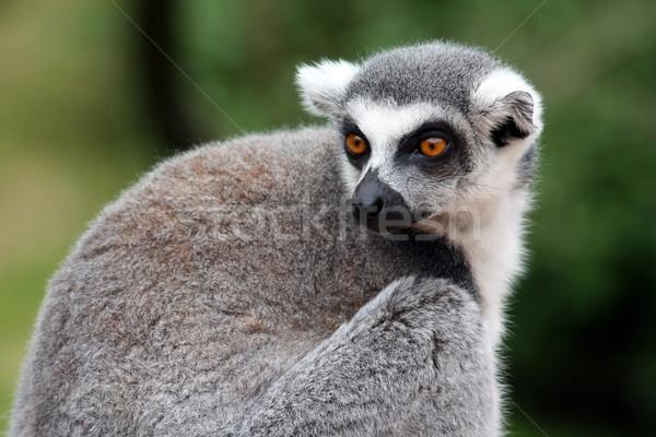 Gözler maymun beyaz sevimli memeli gri Stok fotoğraf © martin33