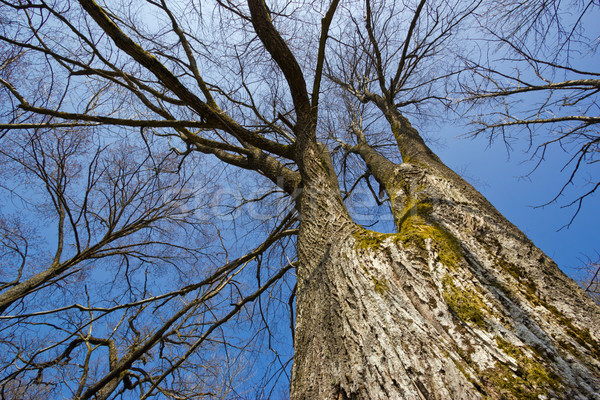 Leafless trees under blue sky Stock photo © martin33