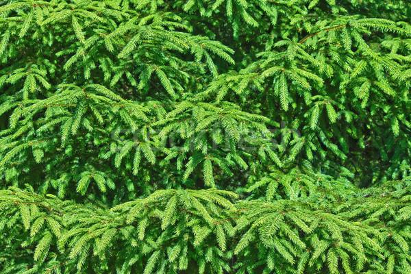 épinette arbre texture bois fond vert Photo stock © martin33