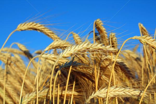 Altın olgun buğday alan mısır mavi gökyüzü Stok fotoğraf © martin33