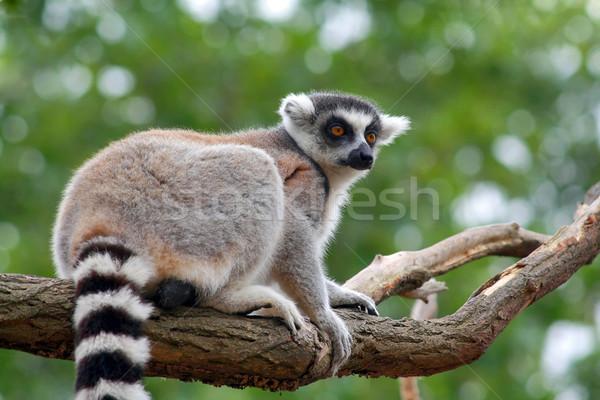 Lemur Catta Stock photo © martin33
