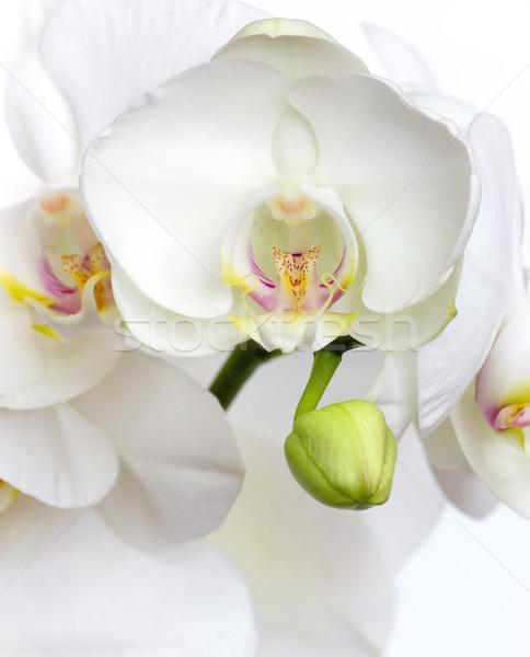 white orchid Stock photo © martin33