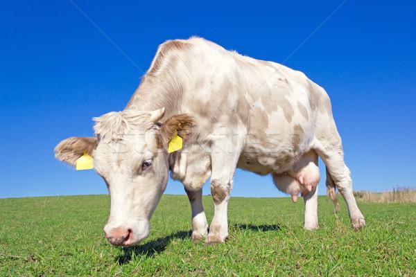 Tehén testtartás égbolt fű zöld tej Stock fotó © martin33