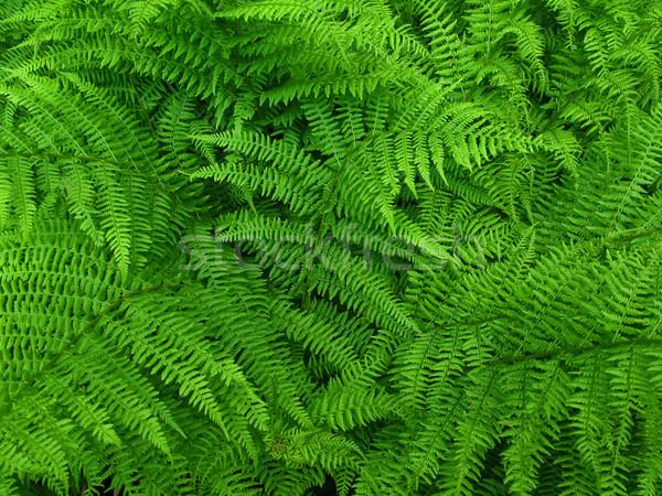 Fougère laisse bois forêt nature vie Photo stock © martin33
