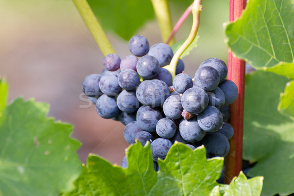 grapevine Stock photo © martin33