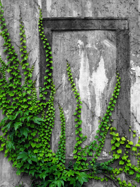 old wall with ivy Stock photo © martin33
