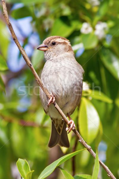 スズメ 家 女性 自然 鳥 支店 ストックフォト © martin33