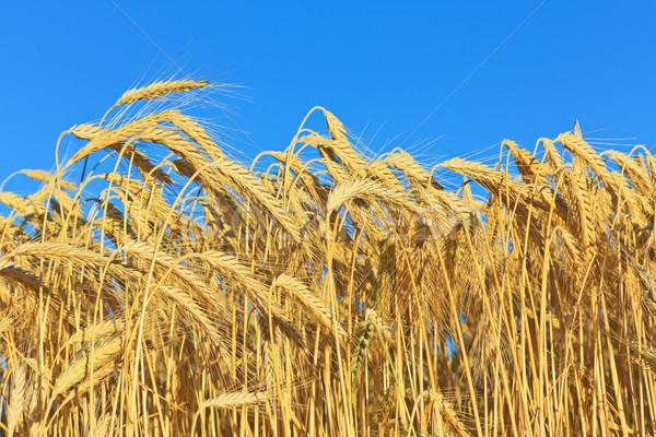 Or blé domaine ciel bleu oreille Photo stock © martin33