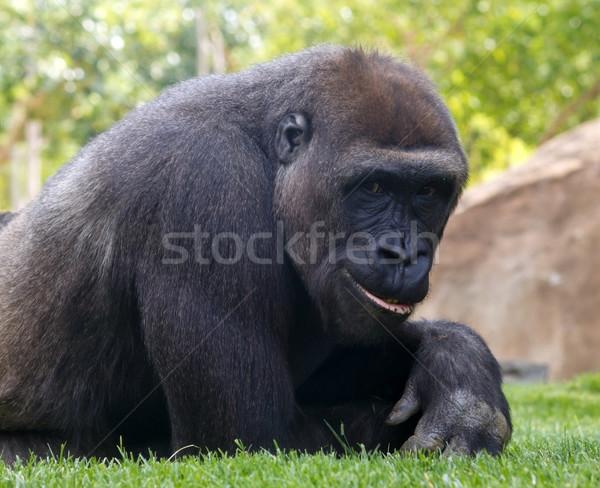 Gorila retrato jóvenes sonriendo sonrisa ojos Foto stock © martin33