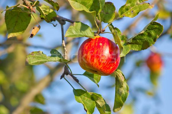リンゴの木 光 フルーツ 庭園 葉 秋 ストックフォト © martin33