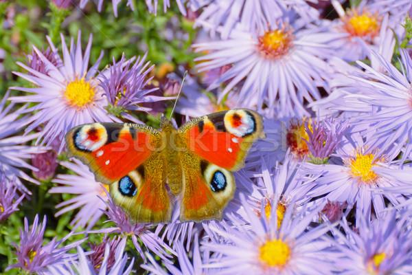 Peacock butterfly (Aglais io) Stock photo © martin33
