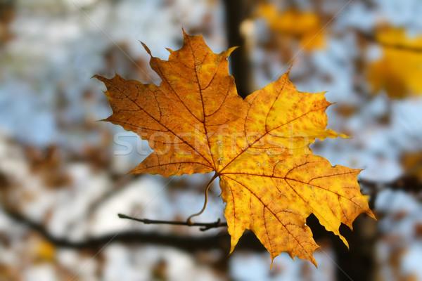 Feuille lumière orange laisse couleur Photo stock © martin33