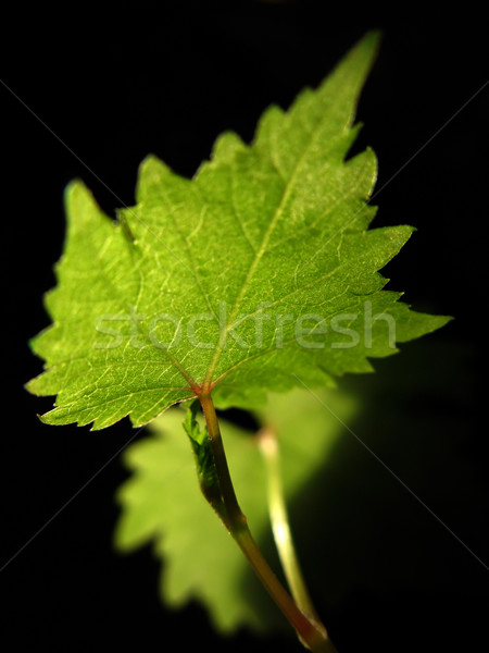 Vers blad groene zwarte leven silhouet Stockfoto © martin33