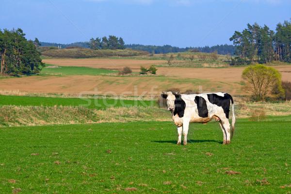 cow on pasture Stock photo © martin33