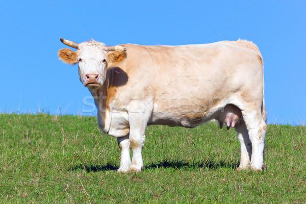 Koe hemel gras veld Blauw Stockfoto © martin33