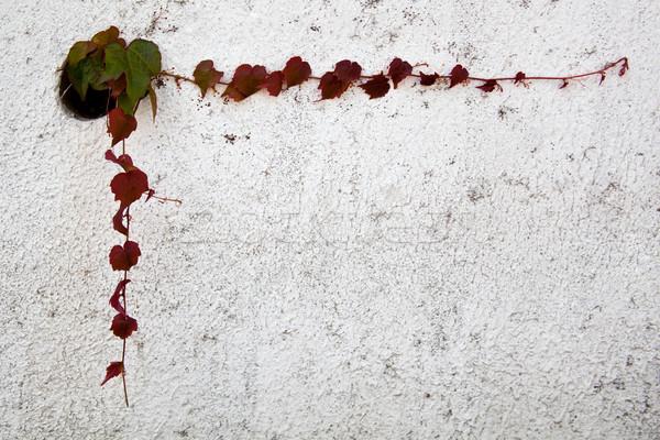 Sarmaşık yaprakları çerçeve duvar bahar bahçe Stok fotoğraf © marylooo