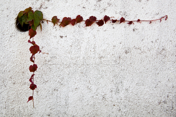 Lierre laisse cadre mur printemps jardin Photo stock © marylooo
