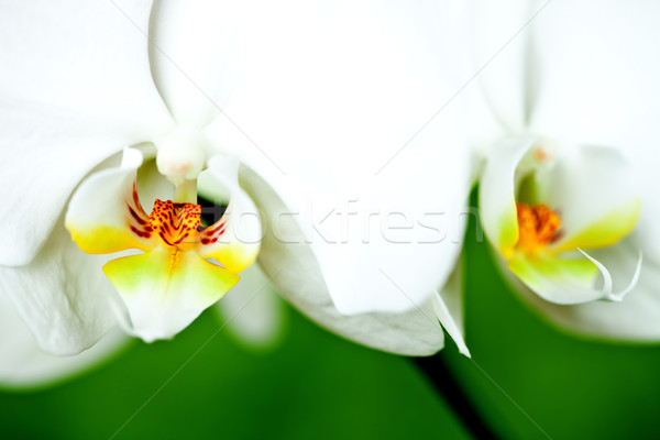 white orchid Stock photo © marylooo