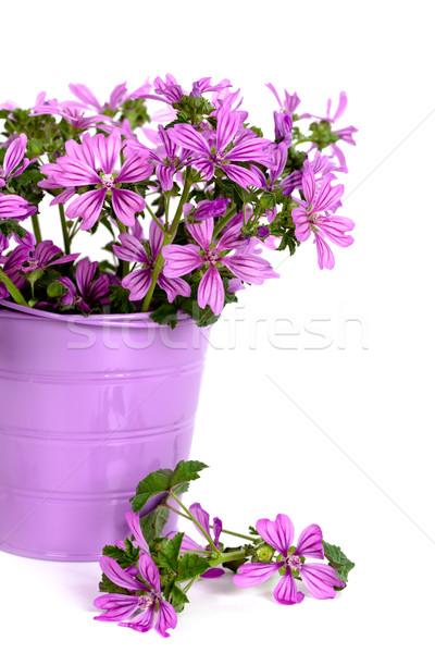 Foto d'archivio: Fiori · di · campo · secchio · selvatico · viola · fiori · isolato