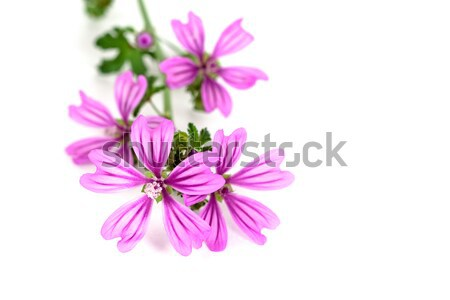 wild violet flowers  Stock photo © marylooo