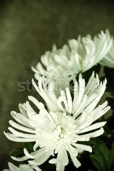 Krizantém vízcseppek gyönyörű fehér virág víz Stock fotó © marylooo