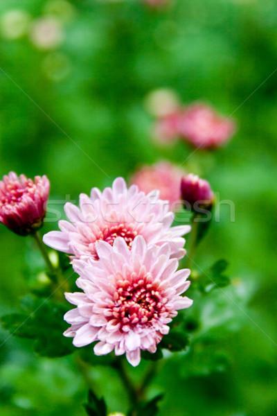 розовый георгин саду дождь капли природы Сток-фото © marylooo