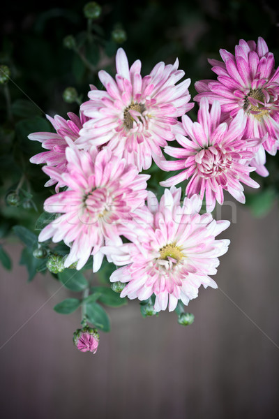 pink flowers of chrysanthemum Stock photo © marylooo
