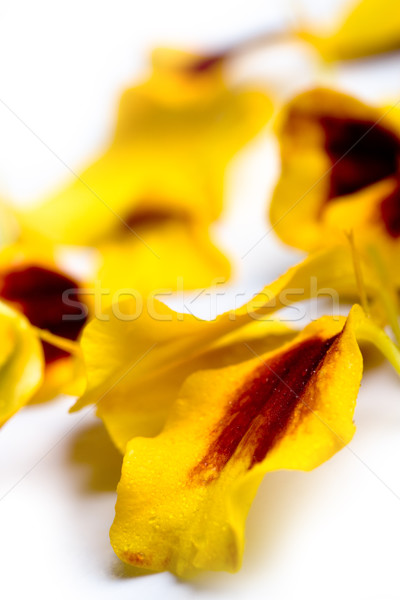 marigold flowers petals Stock photo © marylooo