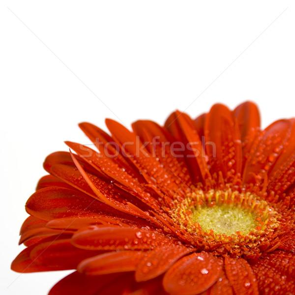 Rouge fleur blanche eau printemps Photo stock © marylooo