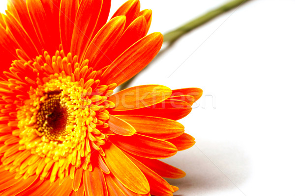Orange flower Stock photo © marylooo