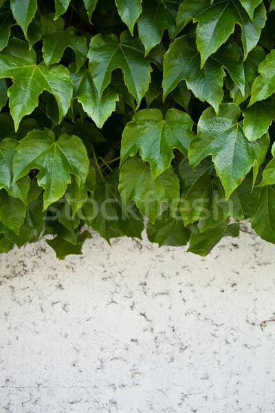 Borostyán növekvő öreg fal közelkép textúra Stock fotó © marylooo