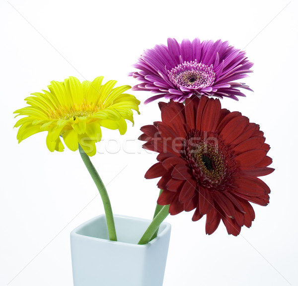 gerber flowers Stock photo © marylooo