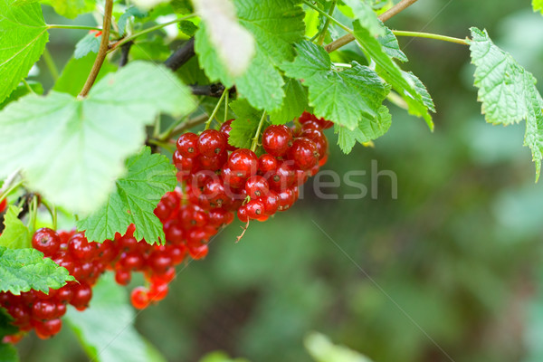 berries of red currant Stock photo © marylooo