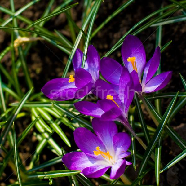Violette belle fleur printemps soleil nature Photo stock © marylooo