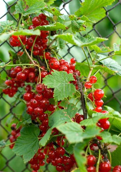 red berries Stock photo © marylooo