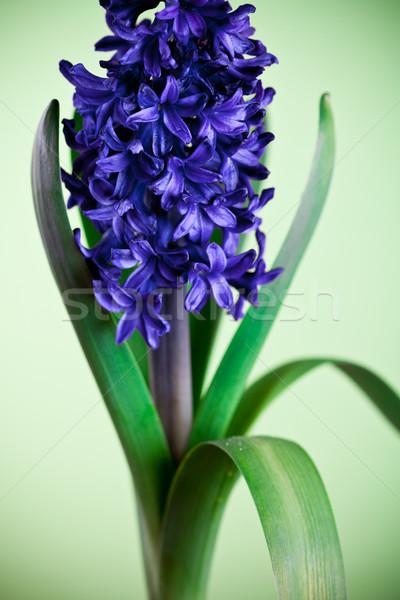 青 ヒヤシンス 緑 マクロ 画像 花 ストックフォト © marylooo