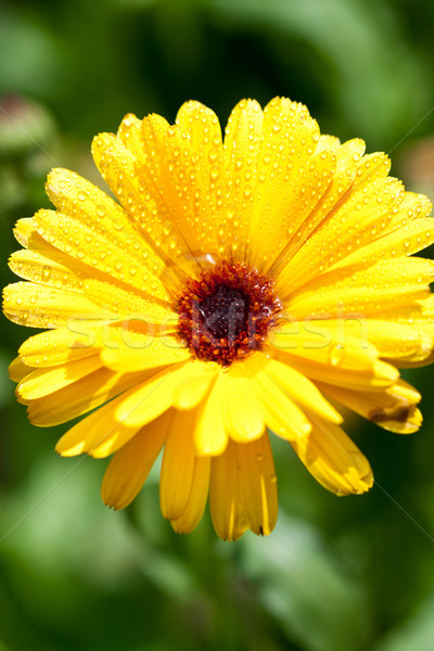 yellow gerber flower with water drops  Stock photo © marylooo