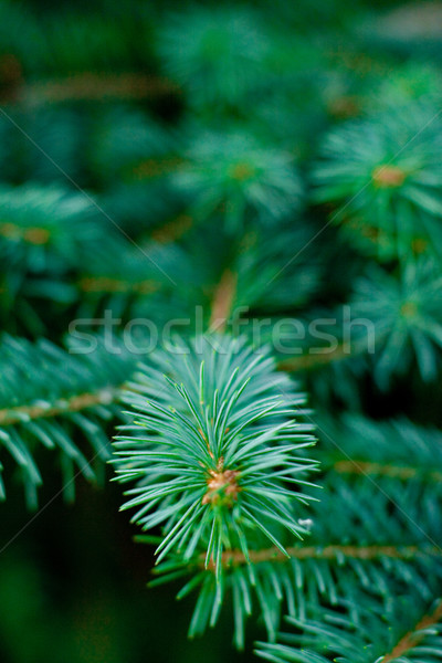 pine tree Stock photo © marylooo