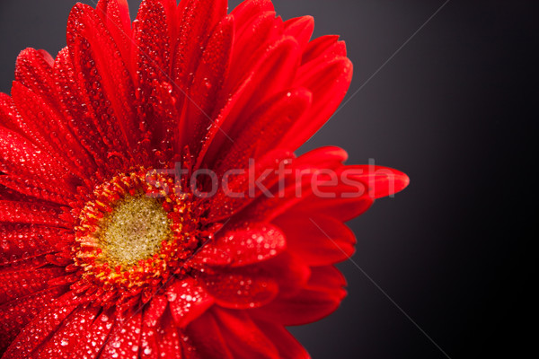 red gerbera flower Stock photo © marylooo
