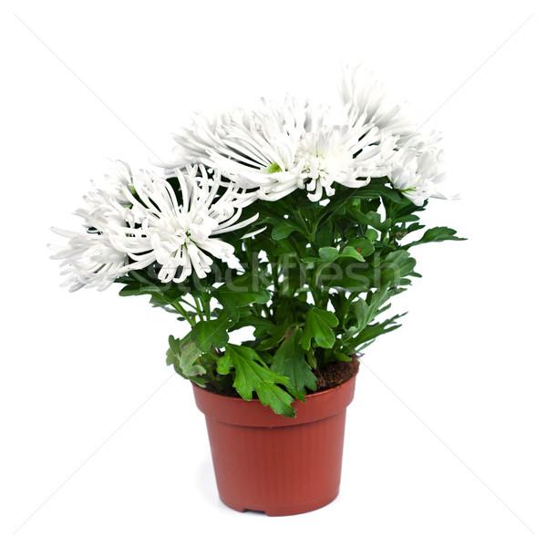 Chrysantheme Blume Anlage Topf isoliert weiß Stock foto © marylooo
