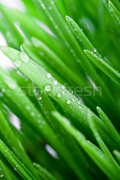 wet green grass  Stock photo © marylooo