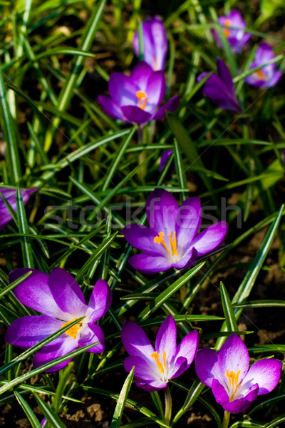 violet crocuses Stock photo © marylooo