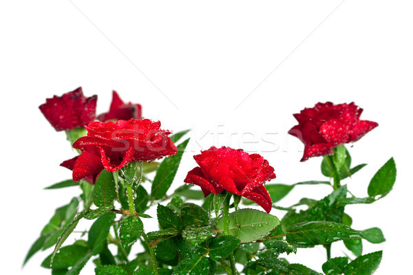 Сток-фото: красные · розы · капли · воды · белый · цветок · фон · красоту