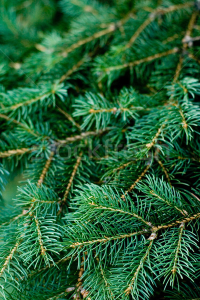 pine tree Stock photo © marylooo
