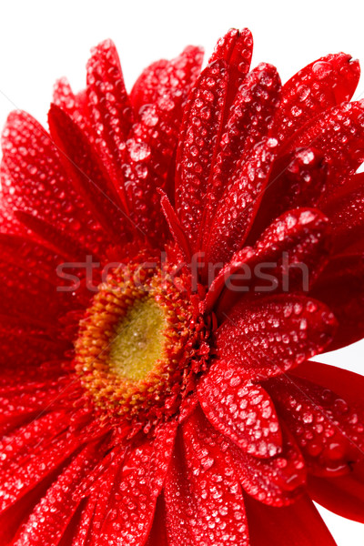 red gerbera  Stock photo © marylooo