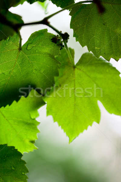 Hojas verdes forestales jardín verano hojas uvas Foto stock © marylooo