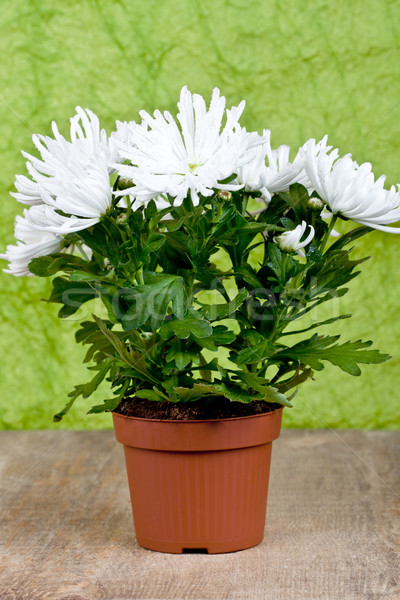 Chrysanthème fleur usine pot isolé table en bois Photo stock © marylooo