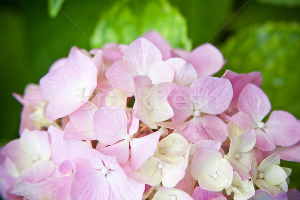 hydrangea flower Stock photo © marylooo