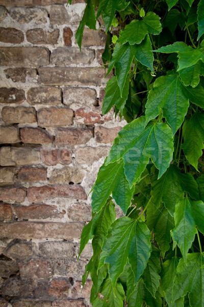 ivy growing on old brick wall  Stock photo © marylooo